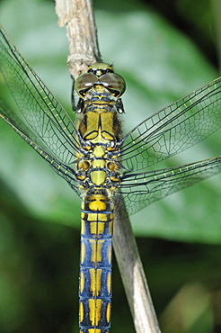 Orthetrum cancellatum, Black-tailed Skimmer female