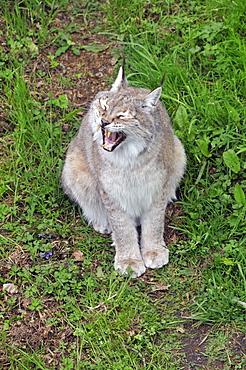 Felix lynx wrangeli, Siberian Lynx