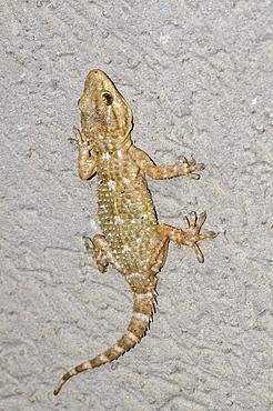 Tarentola mauritanica, gecko