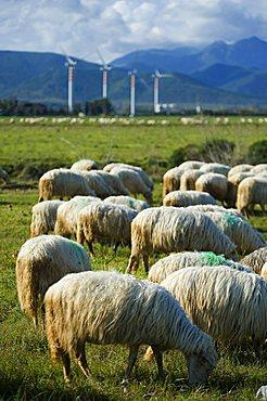 Flock, Capoterra, Provincia di Cagliari, Sardinia, Italy