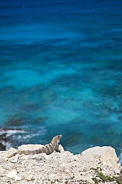 Iguana, Yucatan, Mexico, America