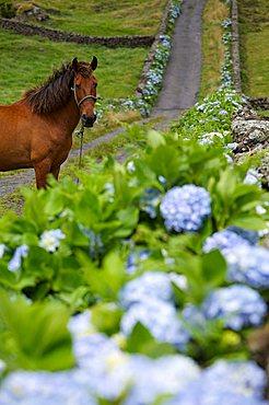 Horse in a road with hydrangea flower, Caldeira de Guilherme Moniz, Terceira, Azores Island, Portugal, Europe