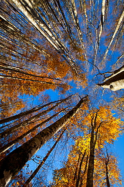 Alpago beech forest in autumn, Belluno, Veneto, Italy, Europe