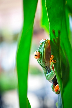 Wild red eyed tree frog looking at the camera, Tortuguero National Park, Costa Rica, Central America