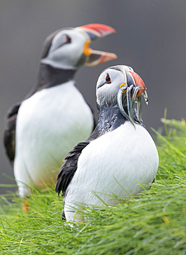 Atlantic Puffin (Fratercula arctica) in a puffinry on Mykines, part of the Faroe Islands in the North Atlantic. Catch of fish (sandeel) in its beak, Denmark, Northern Europe