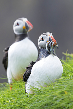 Atlantic Puffin (Fratercula arctica) in a puffinry on Mykines, part of the Faroe Islands in the North Atlantic. Catch of fish sandeel in its beak, Denmark, Northern Europe