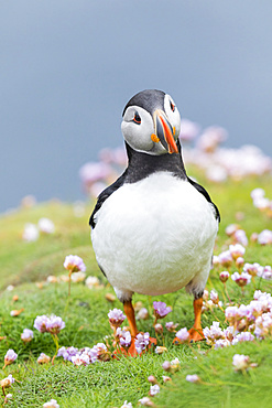 Atlantic Puffin (Fratercula arctica) on the Shetland Islands in Scotland.   Europe, northern europe, great britain, scotland, Shetland Islands, June
