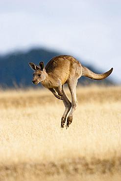 Eastern Grey Kangaroo or Forester Kangaroo (Macropus giganteus), jumping, running, Australia, Tasmania