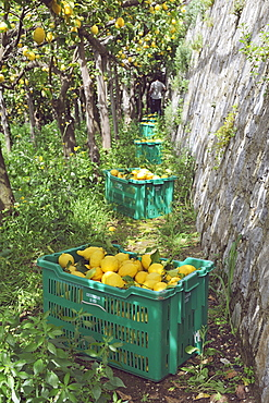 Lemon garden in Maiori, the Protected Geographical Indication contributed both to the enhancement of this precious citrus and to the hydrogeology protection of this area, Amalfi Coast, Campania, Italy