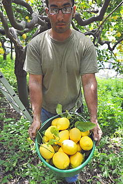 Worker in a lemon garden with a basket full of freshly picked lemons, the Protected Geographical Indication contributed both to the enhancement of this precious citrus and to the hydrogeology protection of this area, Maiori, Amalfi Coast, Campania, Italy