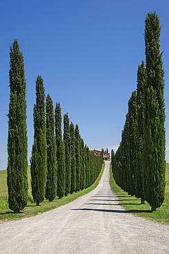 Tree lined driveway, Val d'Orcia, Tuscany, Italy, Europe