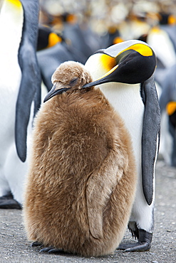 King penguin and a chick (Aptenodytes patagonicus), Gold Harbour, South Georgia, Antarctic, Polar Regions