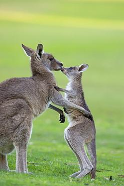 Eastern Grey Kangaroo, (Macropus giganteus), Great Ocean Road, Anglesea, Victoria, Australia
