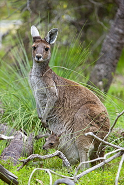 Western gray kangaroo (Macropus fuliginosus) with joey in pouch, Yanchep National Park, West Australia, Australia, Pacific