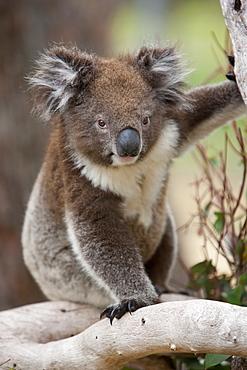 Koala (Phascolarctos cinereus) in a eucalyptus tree, Yanchep National Park, West Australia, Australia, Pacific