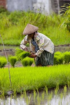 Farmer and the rice crop, Kerobokan, Bali, Indonesia, Southeast Asia, Asia