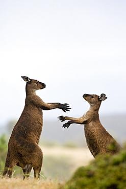 Kangaroo Island grey kangaroos (Macropus fuliginosus), Lathami Conservation Park, Kangaroo Island, South Australia, Australia, Pacific