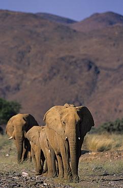 Desert-dwelling Elephant, (Loxodonta africana), Dry River, Hoanib, Kaokoland, Namibia