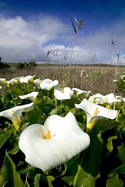 White arum lily, Araceae, Great Ocean Road, Victoria, Australia, Pacific