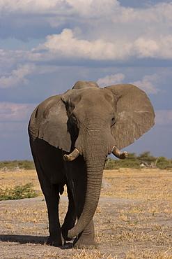 African elephant, Loxodonta africana, Savuti, Chobe National Park, Botswana, Africa