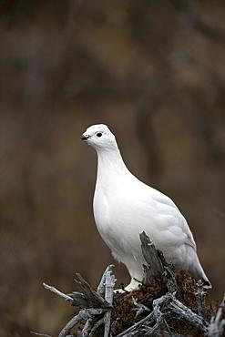Ptarmigan, Lagopus mutus, Churchill, Manitoba, Canada, North America