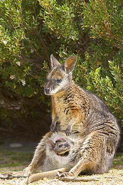 Tammar wallaby (Macropus eugenii), Flinders Chase National Park, Kangaroo Island, South Australia, Australia, Pacific