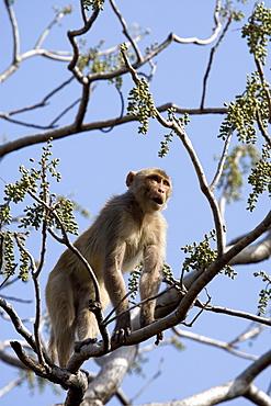 Rhesus macaque monkey (Macaca mulatta), Bandhavgarh National Park, Madhya Pradesh state, India, Asia