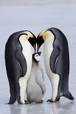 Emperor penguin chick and adulta (Aptenodytes forsteri), Snow Hill Island, Weddell Sea, Antarctica, Polar Regions