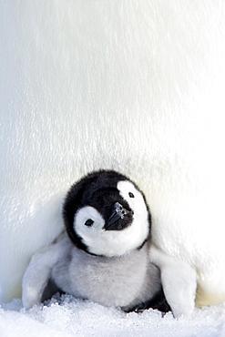 Emperor penguin (Aptenodytes forsteri), chick, Snow Hill Island, Weddell Sea, Antarctica, Polar Regions