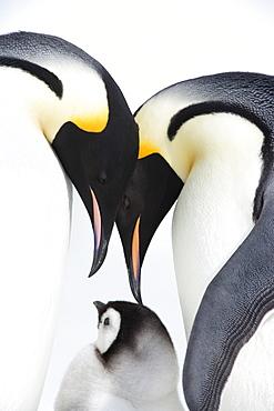 Emperor penguin (Aptenodytes forsteri), chick and adults, Snow Hill Island, Weddell Sea, Antarctica, Polar Regions