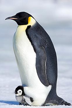 Emperor penguin (Aptenodytes forsteri), chick and adult, Snow Hill Island, Weddell Sea, Antarctica, Polar Regions