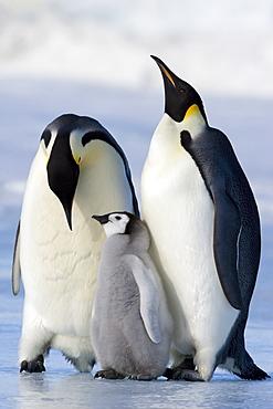 Emperor penguins (Aptenodytes forsteri) and chick, Snow Hill Island, Weddell Sea, Antarctica, Polar Regions