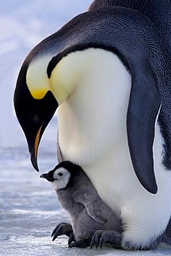Emperor penguin (Aptenodytes forsteri) and chick, Snow Hill Island, Weddell Sea, Antarctica, Polar Regions
