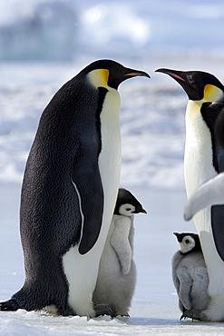 Emperor penguins (Aptenodytes forsteri) and chicks, Snow Hill Island, Weddell Sea, Antarctica, Polar Regions