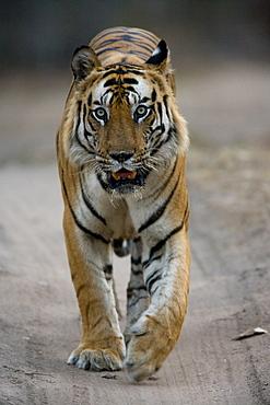 Dominant male Indian Tiger (Bengal tiger) (Panthera tigris tigris), Bandhavgarh National Park, Madhya Pradesh state, India, Asia