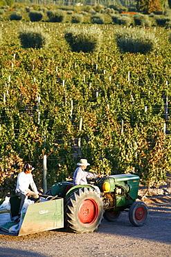 Farmer driving a tractor in Lujan de Cuyo, Mendoza region, Argentina, South America