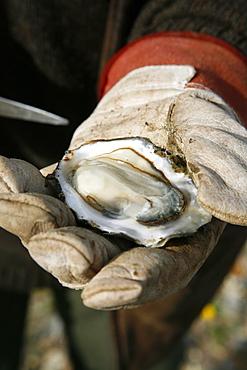 Man holding an open oyster, Jutland, Denmark, Scandinavia, Europe