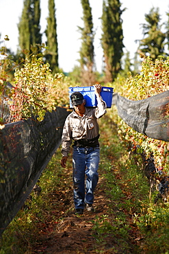 Man working at the vineyard during the harvest time, Mendoza, Argentina, South America