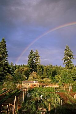 Farmer tending organic vegetable garden, Vashon Island, Puget Sound, Washington State, United States of America (U.S.A.), North America