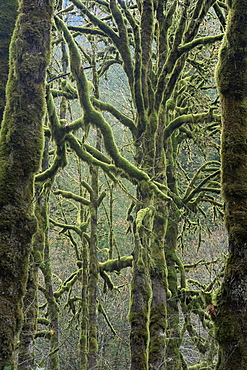 Moss covered maple trees, Dosewallips campground, Olympic National Park, UNESCO World Heritage Site, Washington State, United States of America (U.S.A.), North America