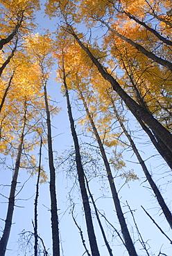 Aspen trees (Populous tremuloides) in late day light, Vashon Island, Washington state, United States of America, North America