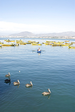 Two men bring in harvest of the sea, Chimbote, Chile, South America