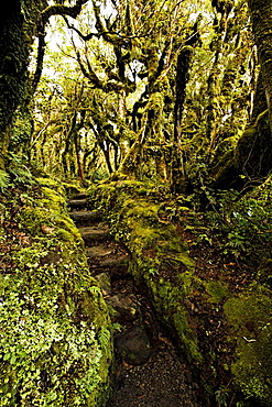 Native bush at Dawson Falls, where woodland is known as the Goblin forest due to trailing moss and gnarled trees, Egmont National Park, Taranaki, North Island, New Zealand, Pacific
