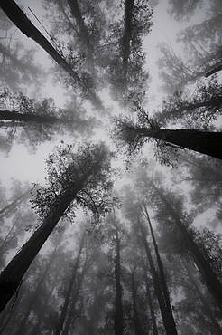 Mountain Ash trees, tallest flowering plants in the world, in fog, Dandenong Ranges, Victoria, Australia, Pacific