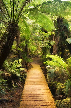 Boardwalk through rainforest, Maits Rest, Great Otway National Park, Victoria, Australia, Pacific