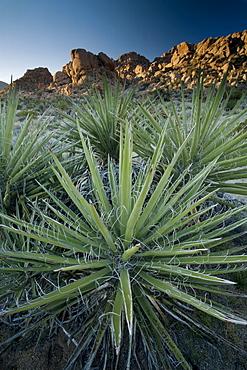 Yucca plant, Joshua Tree National Park, California, United States of America, North America