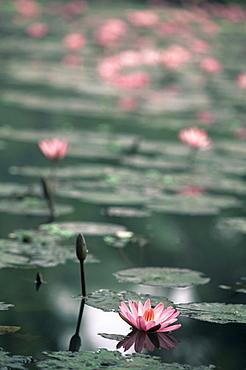 Lotus flower, Luang Prabang, Laos, Indochina, Southeast Asia, Asia