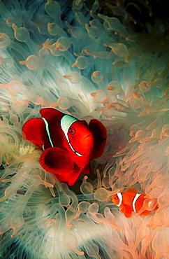 Two Spinecheek clownfish, Premnas aculeatus, Papua New Guinea, Pacific ocean