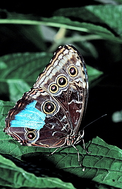Tropical Morpho Peleides butterfly, Morpho beleides, Costa Rica, South america, La Paz Waterfall Gardens, Peace Lodge