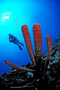 Scuba diver and red sponge, British Virgin Islands, BVI, Caribbean Sea, Leeward Islands